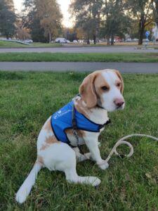 Hüpokoer beagle Filip