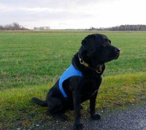 Hüpokoer labradori retriiver Max
